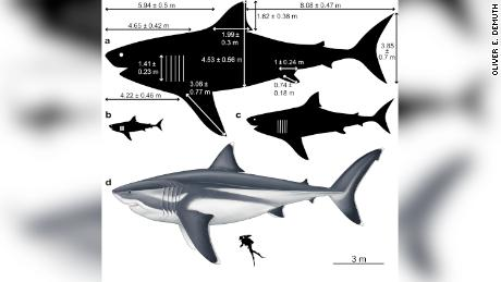The immense size of a prehistoric megalodon shark, which had a long fin like a human, was first detected.